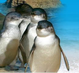 Phillip Island Penguin Parade - Attractions