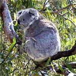 Koala Conservation Centre - Attractions