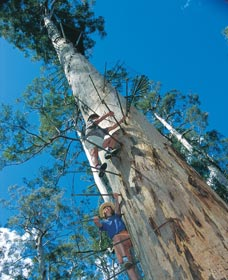 Dave Evans Bicentennial Tree - Attractions