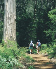 Gloucester Tree - Attractions