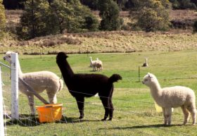 Maydena Country Cabins Accommodation  Alpaca Stud - Attractions