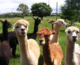 Banyandah Alpacas - Attractions