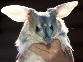 Charleville - Bilby Experience - Attractions