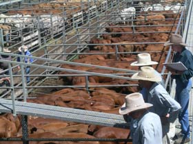 Dalrymple Sales Yards - Cattle Sales - Attractions