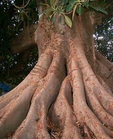 The Big Fig Tree