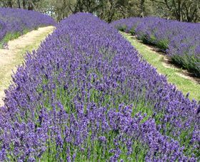 Yuulong Lavender Estate - Attractions