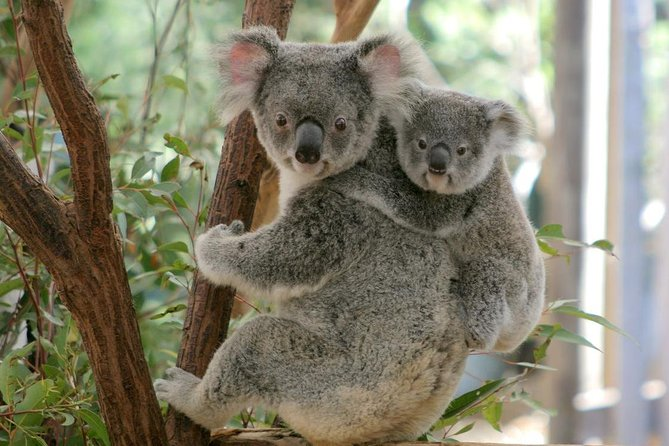 Lone Pine Koala Sanctuary Day Pass - Attractions