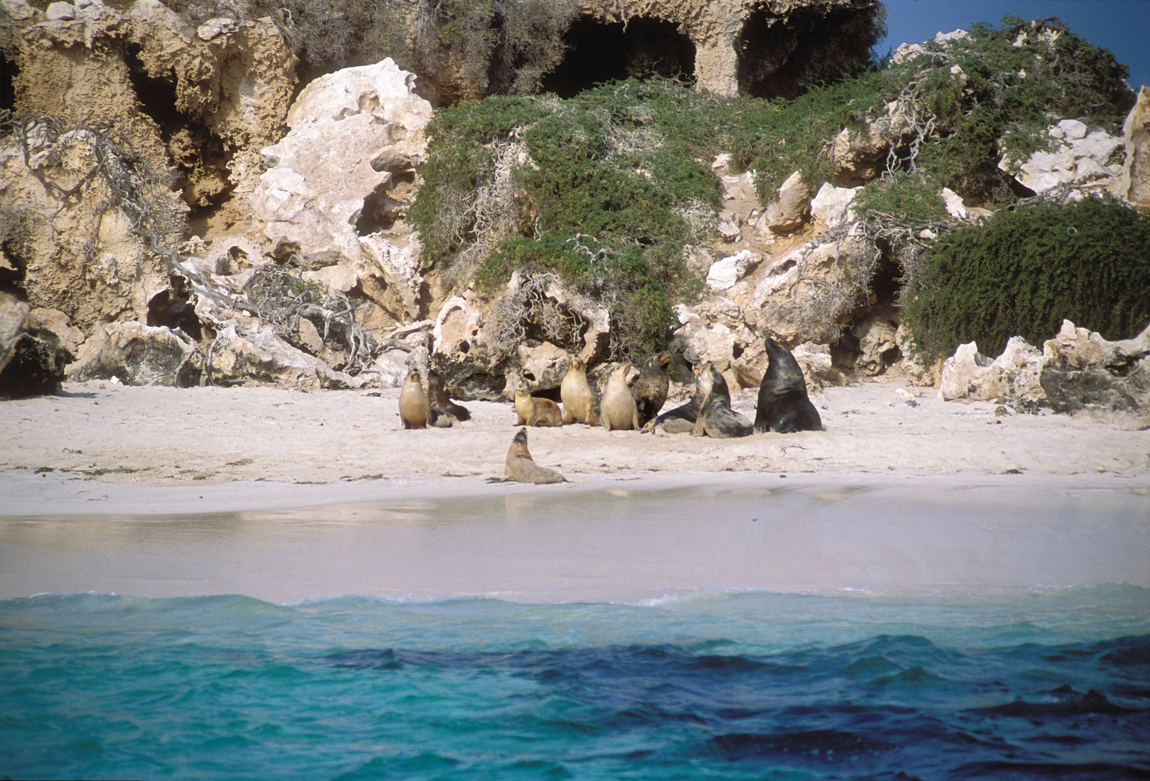 Australian Sea Lions - Attractions